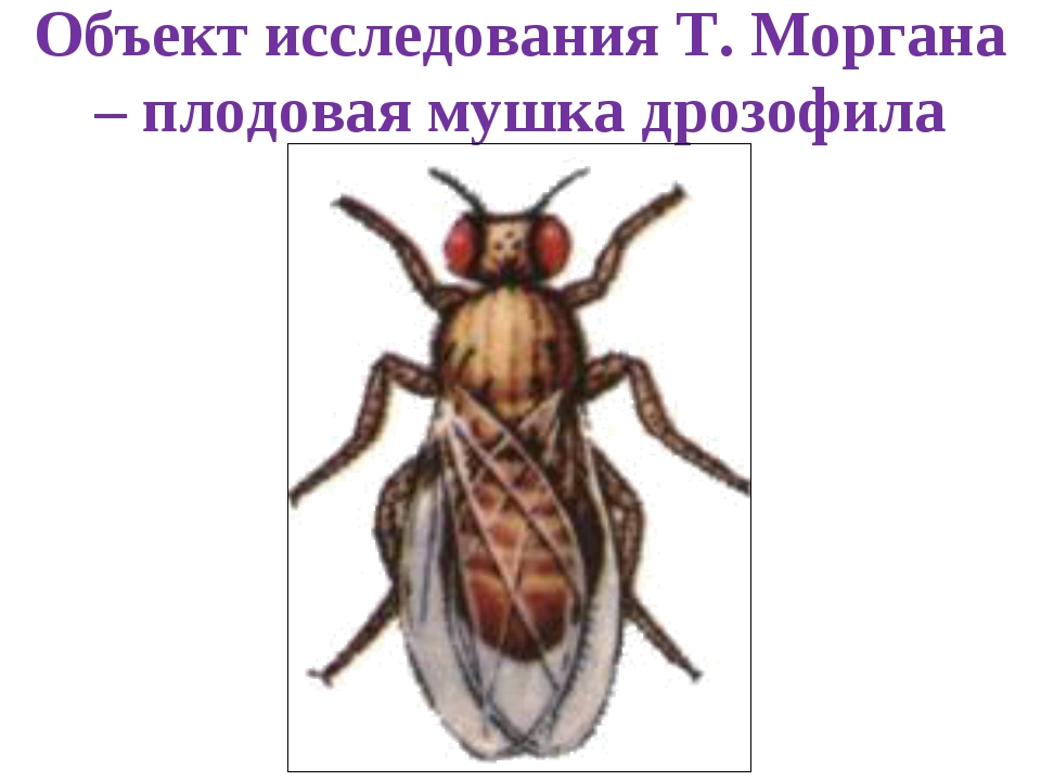 Объект исследования Т. Моргана – плодовая мушка дрозофила