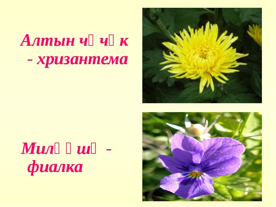 Алтын чәчәк - хризантема Миләүшә - фиалка