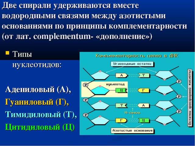 Две спирали удерживаются вместе водородными связями между азотистыми основани...