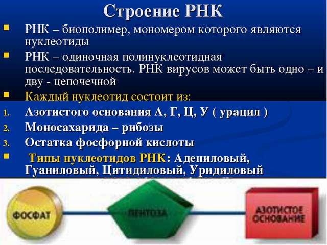 Строение РНК РНК – биополимер, мономером которого являются нуклеотиды РНК – о...