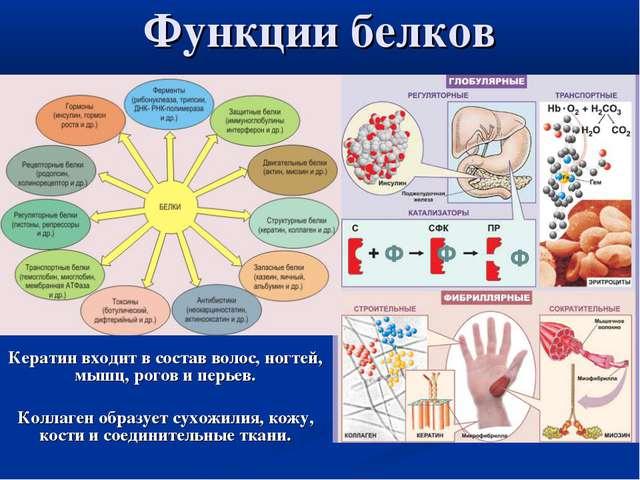 Функции белков Кератин входит в состав волос, ногтей, мышц, рогов и перьев. К...
