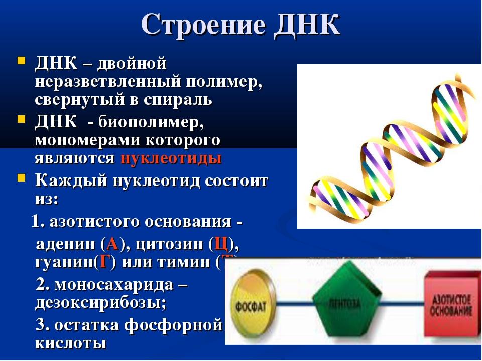 Строение ДНК ДНК – двойной неразветвленный полимер, свернутый в спираль ДНК -...
