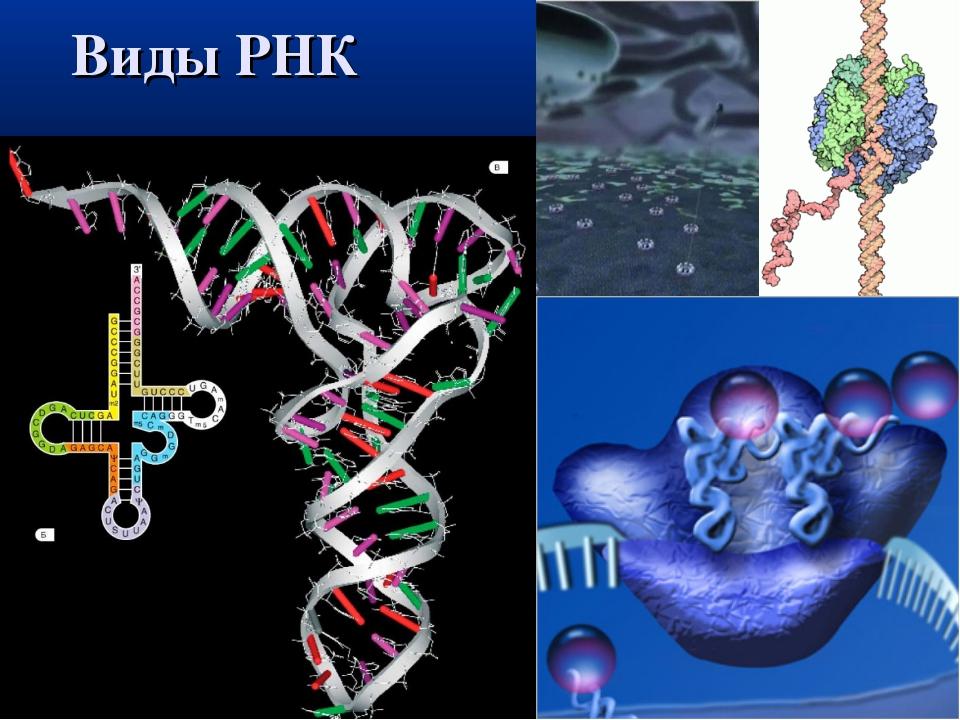 Виды РНК