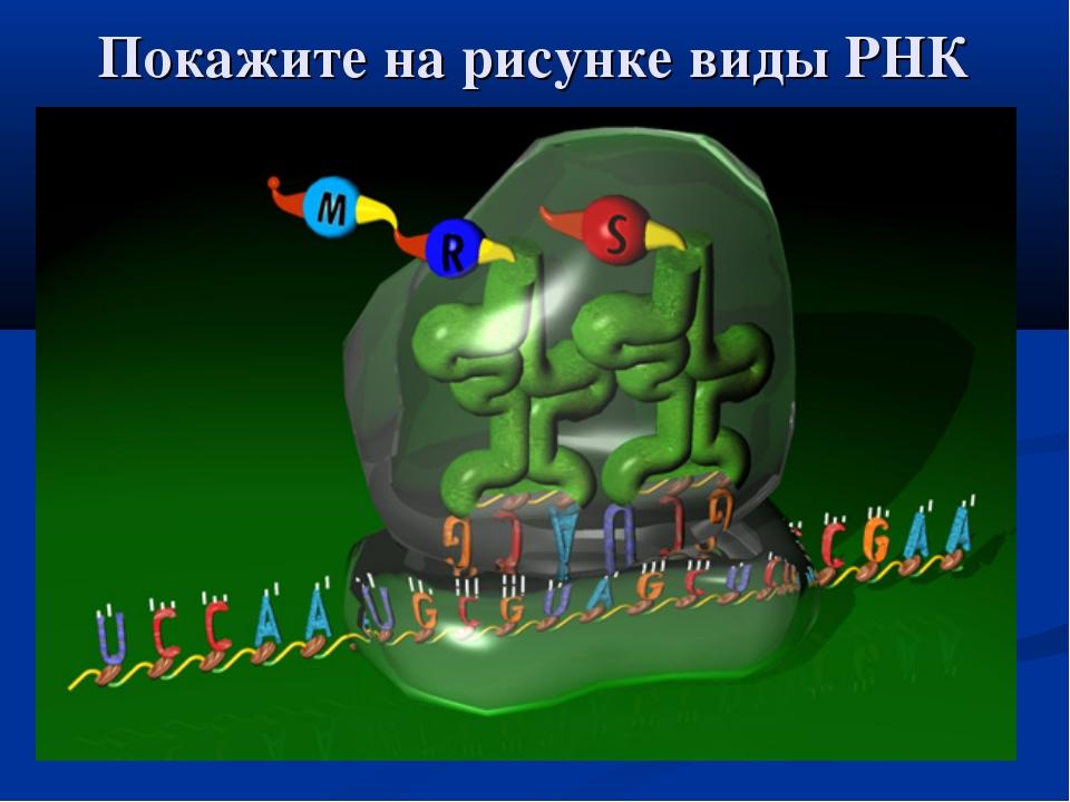 Покажите на рисунке виды РНК