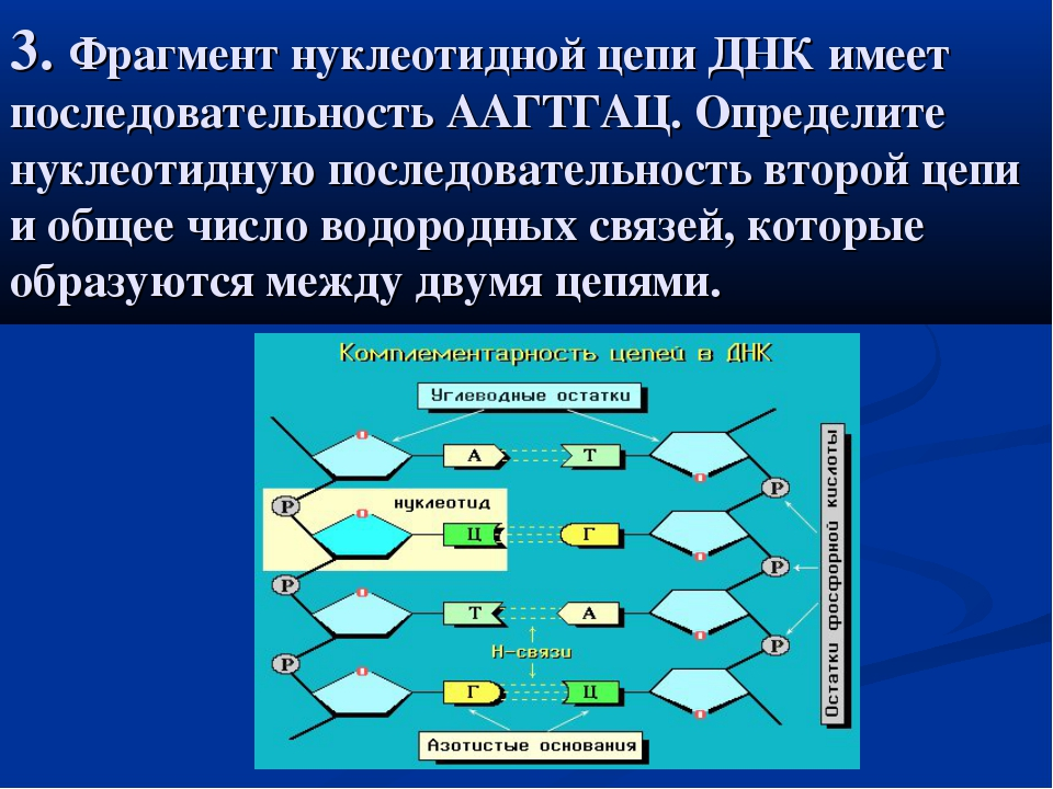 3. Фрагмент нуклеотидной цепи ДНК имеет последовательность ААГТГАЦ. Определит...