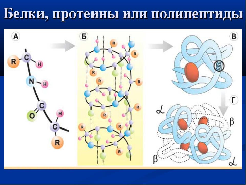 Белки, протеины или полипептиды