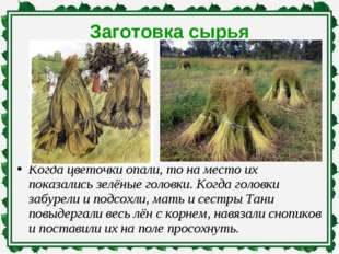Заготовка сырья Когда цветочки опали, то на место их показались зелёные голов