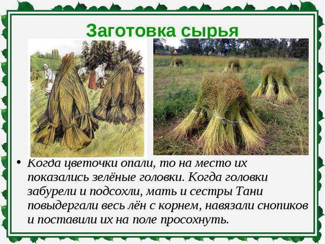 Заготовка сырья Когда цветочки опали, то на место их показались зелёные голов...