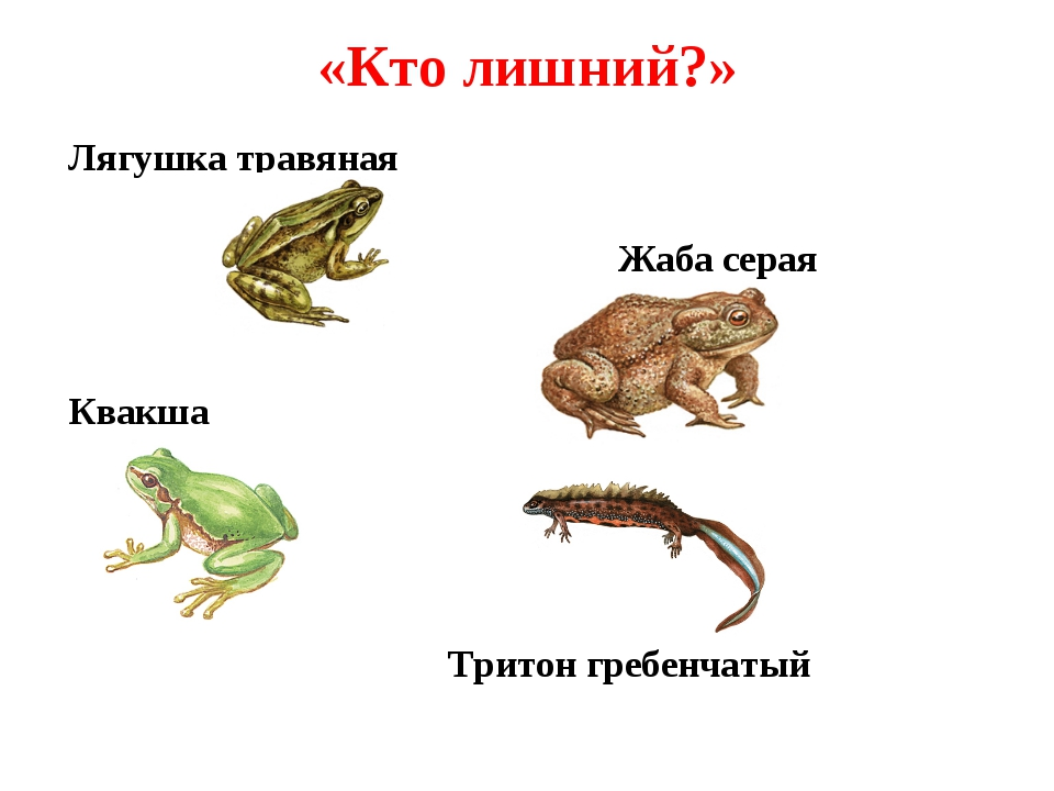 «Кто лишний?» Лягушка травяная Жаба серая Квакша Тритон гребенчатый