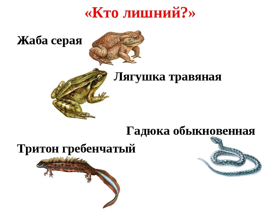 «Кто лишний?» Жаба серая Лягушка травяная Гадюка обыкновенная Тритон гребенча...