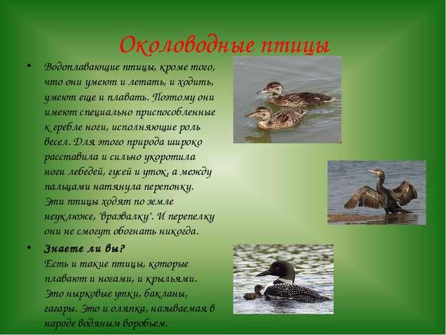 Околоводные птицы Водоплавающие птицы, кроме того, что они умеют и летать, и...