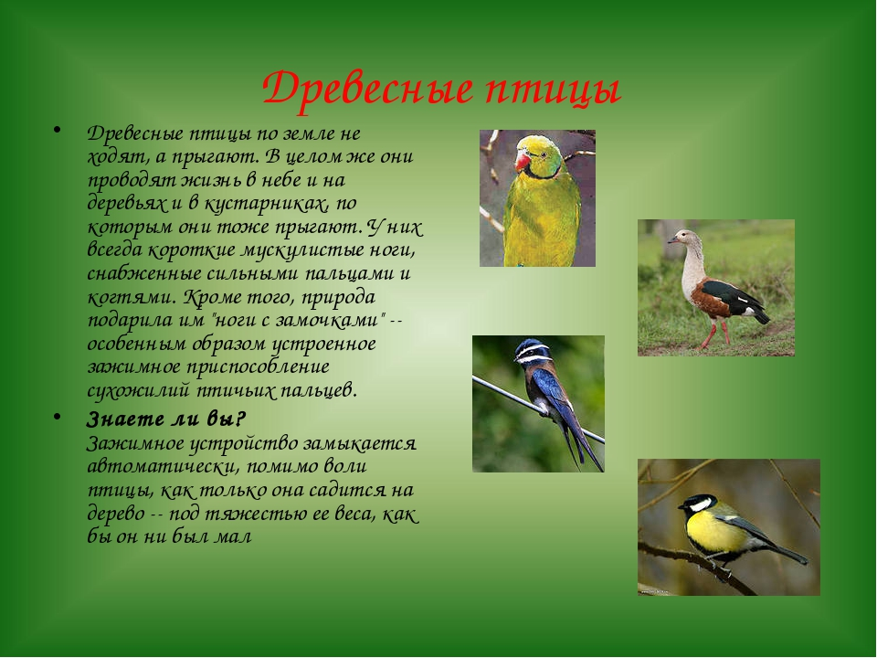 Древесные птицы Древесные птицы по земле не ходят, а прыгают. В целом же они...