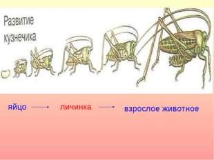 яйцо личинка взрослое животное