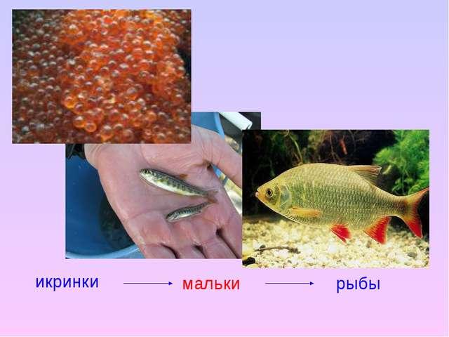 икринки мальки рыбы