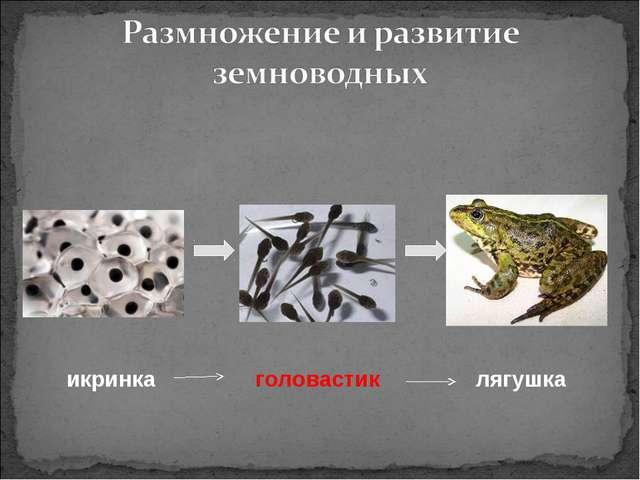 икринка головастик лягушка