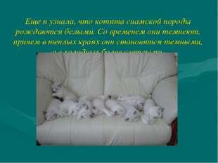 Еще я узнала, что котята сиамской породы рождаются белыми. Со временем они те