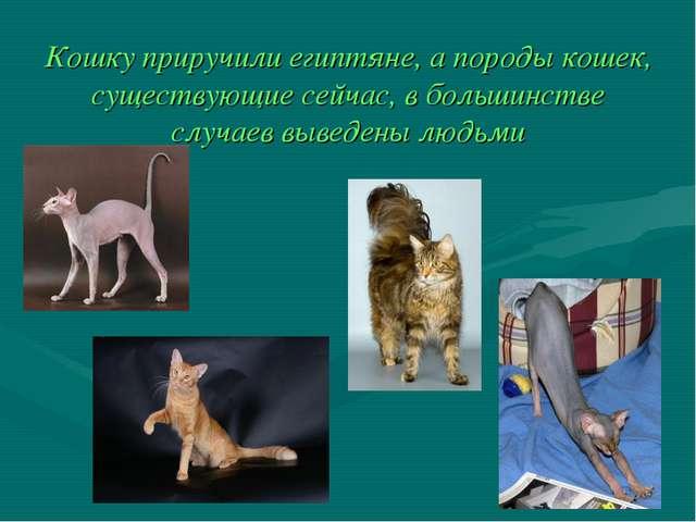 Кошку приручили египтяне, а породы кошек, существующие сейчас, в большинстве...