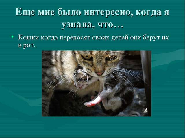 Еще мне было интересно, когда я узнала, что… Кошки когда переносят своих дете...