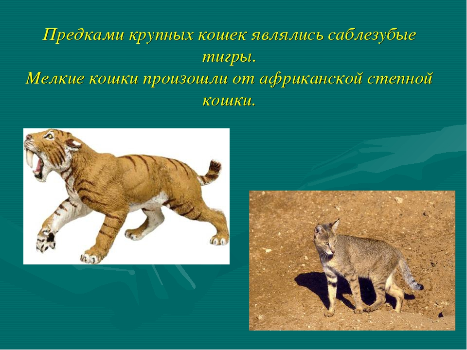 Предками крупных кошек являлись саблезубые тигры. Мелкие кошки произошли от а...