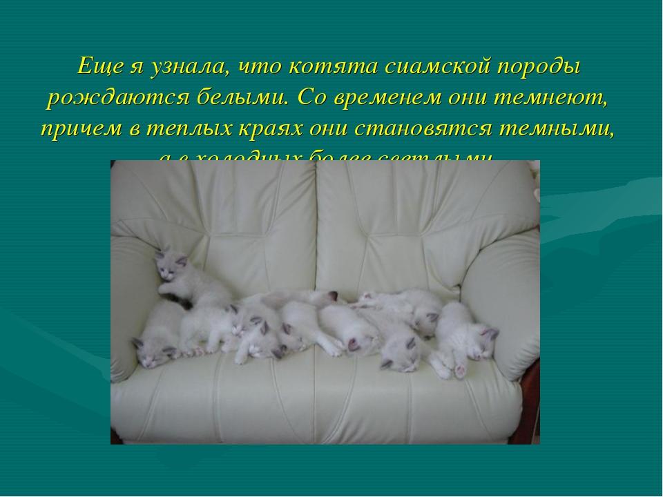 Еще я узнала, что котята сиамской породы рождаются белыми. Со временем они те...