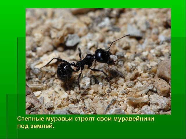 Степные муравьи строят свои муравейники под землей.