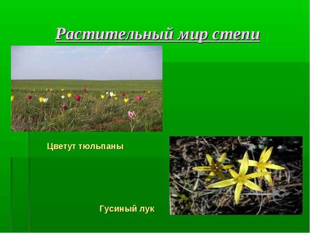 Растительный мир степи Цветут тюльпаны Гусиный лук
