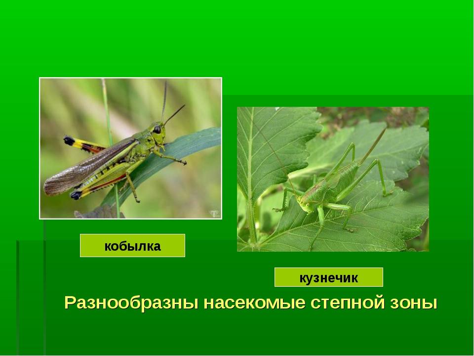Разнообразны насекомые степной зоны кобылка кузнечик