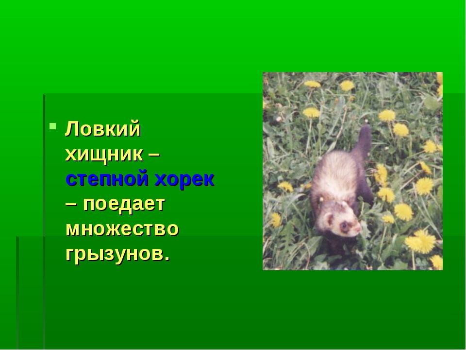 Ловкий хищник – степной хорек – поедает множество грызунов.