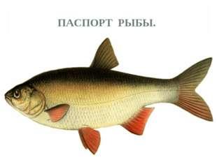 ПАСПОРТ РЫБЫ. 1.Представители группы.Акула, карась, окунь, щука, карп, морс