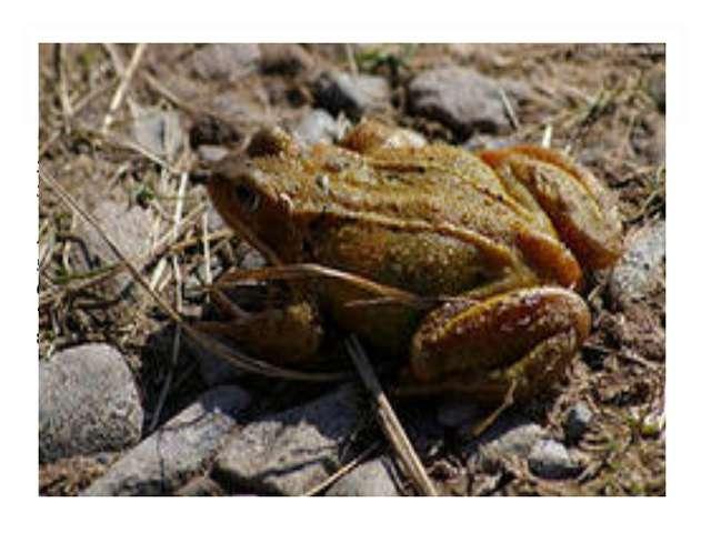 ПАСПОРТ ЗЕМНОВОДНОГО (АМФИБИИ). 1.Представители группы.Жаба, лягушка, трито...