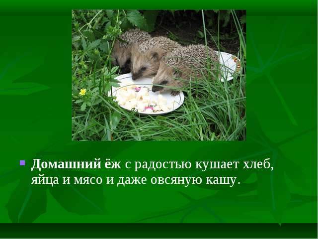 Домашний ёж с радостью кушает хлеб, яйца и мясо и даже овсяную кашу.