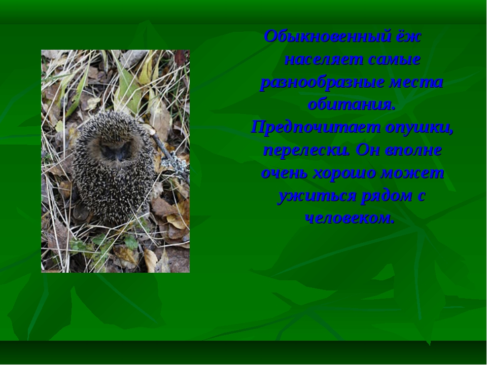 Обыкновенный ёж населяет самые разнообразные места обитания. Предпочитает опу...