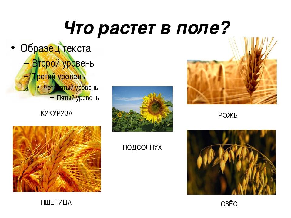 Что растет в поле?