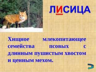 Хищное млекопитающее семейства псовых с длинным пушистым хвостом и ценным мех