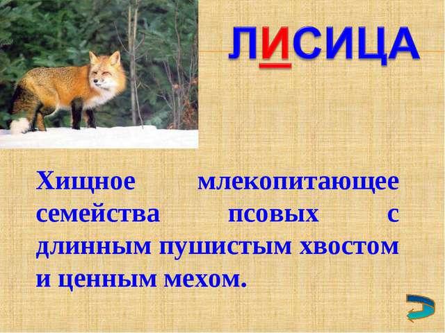Хищное млекопитающее семейства псовых с длинным пушистым хвостом и ценным мех...