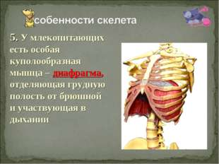 5. У млекопитающих есть особая куполообразная мышца – диафрагма, отделяющая г