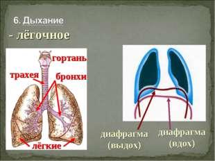 - лёгочное гортань трахея бронхи лёгкие диафрагма (выдох) диафрагма (вдох)