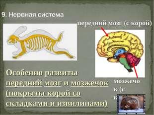 Особенно развиты передний мозг и мозжечок (покрыты корой со складками и извил