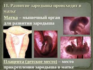 11. Развитие зародыша происходит в матке Матка – мышечный орган для развития