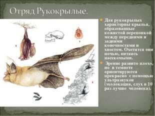 Для рукокрылых характерны крылья, образованные кожистой перепонкой между пере