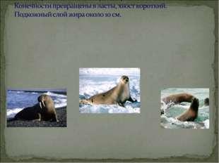 Занесены в Красную книгу России: моржи –атлантический и лаптевский, тюлени-