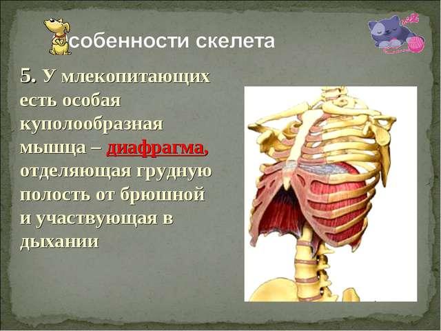 5. У млекопитающих есть особая куполообразная мышца – диафрагма, отделяющая г...