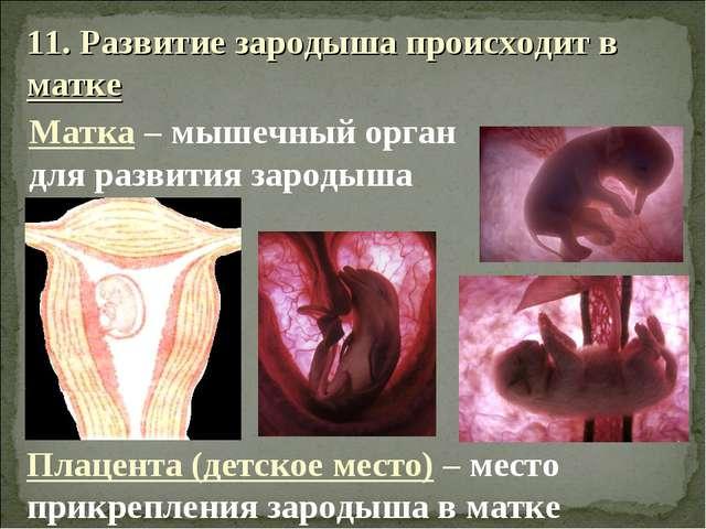 11. Развитие зародыша происходит в матке Матка – мышечный орган для развития...