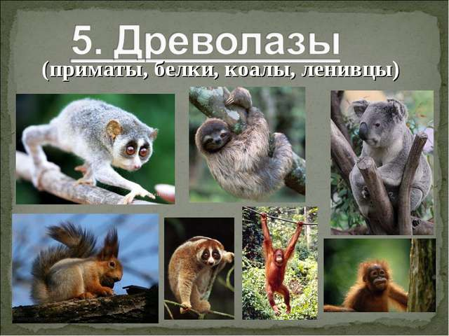 (приматы, белки, коалы, ленивцы)