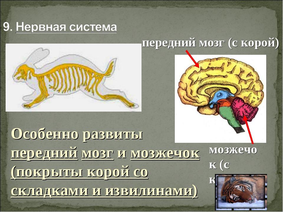 Особенно развиты передний мозг и мозжечок (покрыты корой со складками и извил...