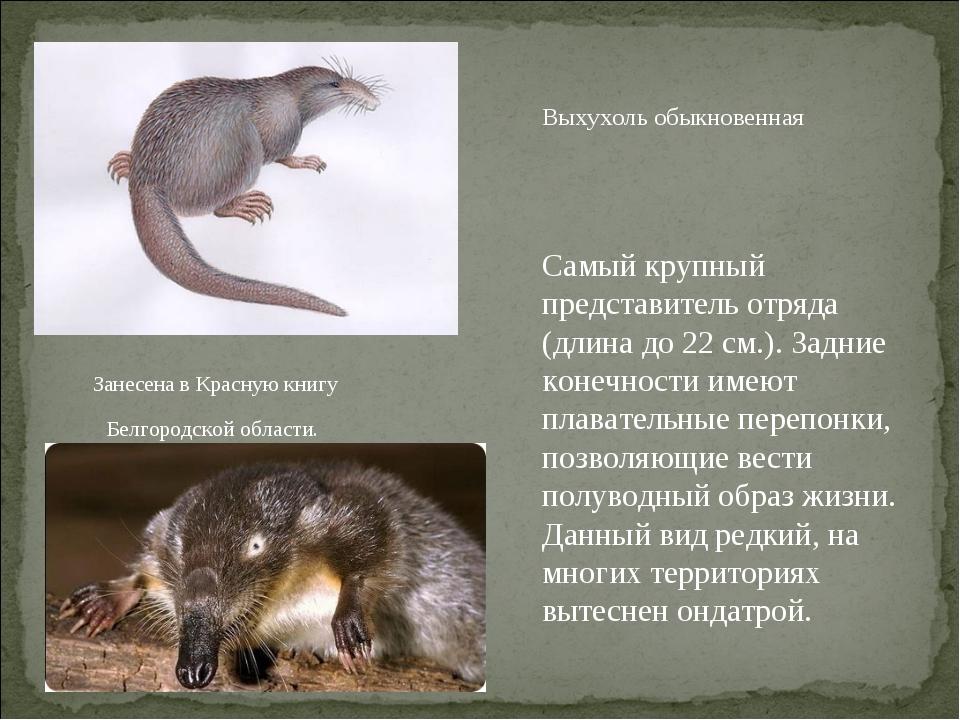 Выхухоль обыкновенная Самый крупный представитель отряда (длина до 22 см.). З...