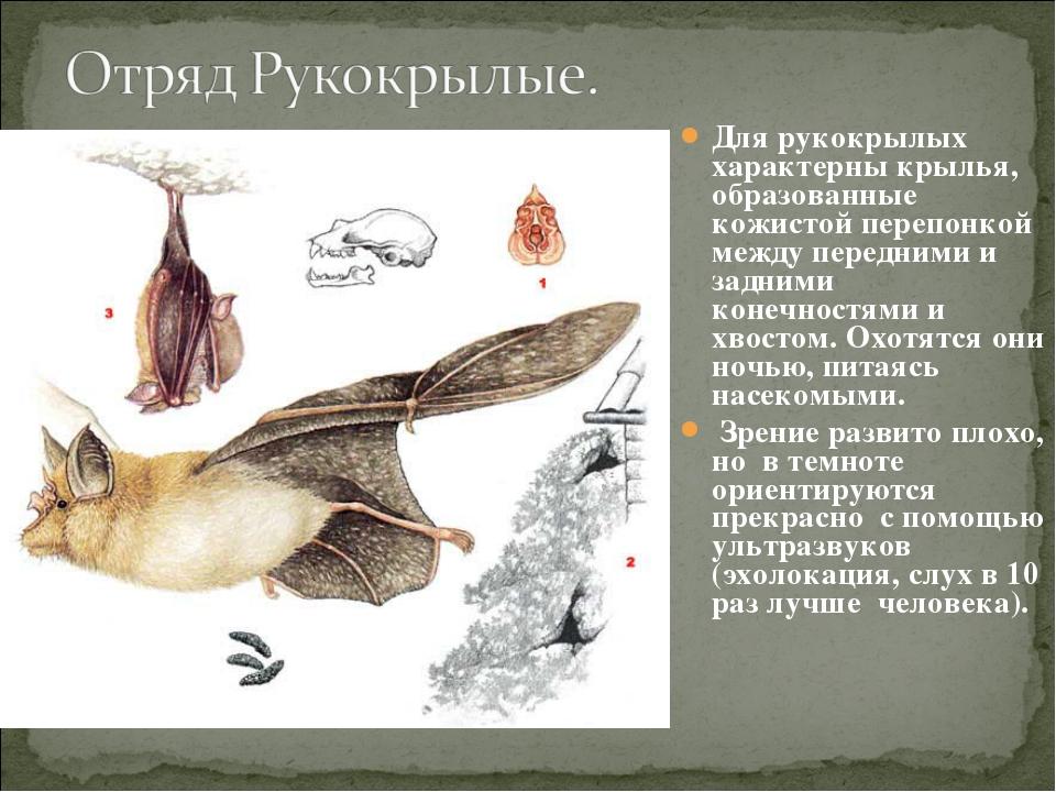 Для рукокрылых характерны крылья, образованные кожистой перепонкой между пере...