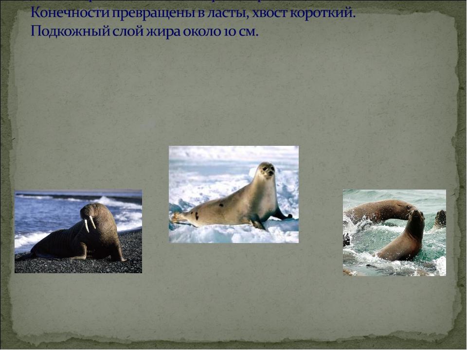 Занесены в Красную книгу России: моржи –атлантический и лаптевский, тюлени-...