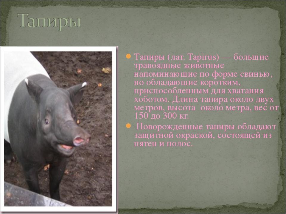 Тапиры (лат. Tapirus) — большие травоядные животные напоминающие по форме сви...