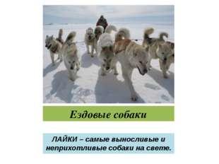 Ездовые собаки ЛАЙКИ – самые выносливые и неприхотливые собаки на свете.